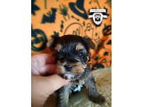 Amazing yorkshire terrier puppies