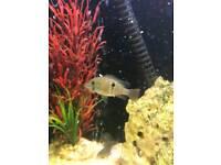 Green terror tropical fish , aquarium