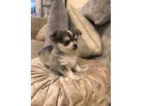 Platinum/lilac sable male t/cup chihuahua