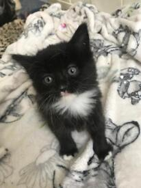 Girl black and white fluffy long haired 8 weeks old