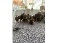 🔥 6 Beautiful KC Reg French Bulldog Puppies 🔥