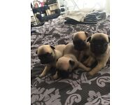 **FRUGS FOR SALE pug/French bulldog **