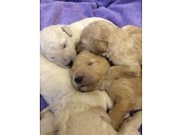 Standard Poodle Puppies - Apricots & Creams