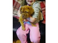 Beautiful Dogue De Bordeaux puppy (female)