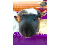 Adorable Guinea Pig For Sale