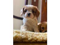 F2 cavachon puppys
