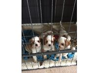 Cavalier King Charles puppy's ( ALL PUPS ARE NOW SOLD )