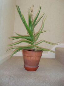 Aloe Vera Plant 54cm tall in Old Terracotta Pot