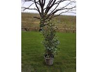 Photinia red robin 1.5m/5ft high