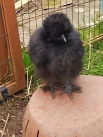 Silkie bantams x3