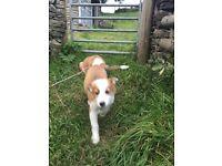 Welsh sheepdog puppies