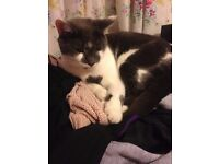 MISSING white and grey moggy cat