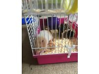 2 Syrian Hamsters, Cages and Accessories