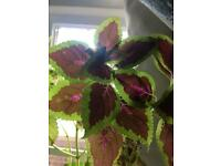 Rooted Cuttings of Coleus Plant
