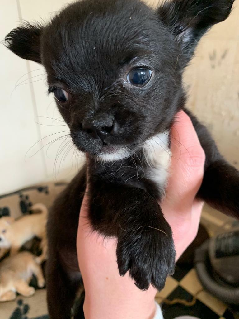 Chihuahua Puppies For Sale In Darwen Lancashire Gumtree