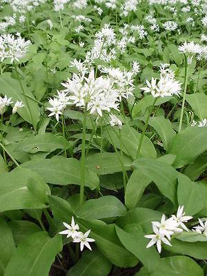 50 Samen Bärlauch Allium ursinum mehrjähriger winterharter Waldknoblauch