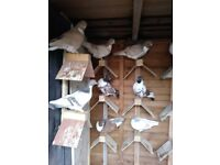 Tumbler pigeons for sale. SORRY ALL SOLD NOW!!!!!!