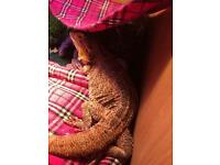 2 female bearded dragons + full set up £300