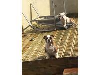Kennel club reg English bulldogs