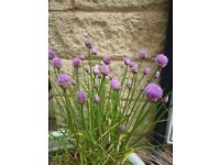 Pot of Chives Herb