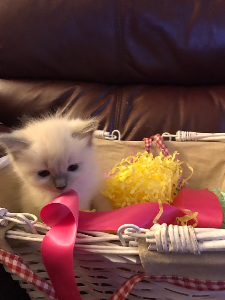 11 week Ragdoll kitten