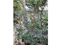 Breech hedge plants.