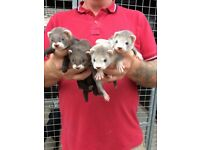 Eu x Silver Ferret Kits for sale