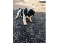 Shih tzu x puppies for sale