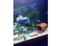 11 x tropical fish for fish tank 6 x gourami 5 x silver dollar all very nice and very good look pic