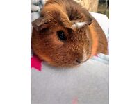 two female guinea pigs 6 months old