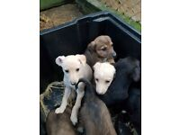 Lurcher puppies , whippet saluki collie cross
