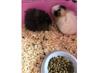 2 gorgeous male wolly guinea pigs