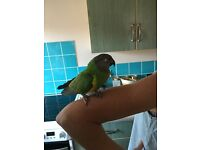 Senegal Parrot with large cage - semi tame