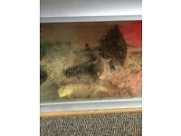 2 adult bearded dragons and all accessories for sale