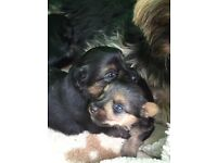 Cross Yorkshire terrier and jack Russel pups