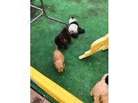 Miniature Goldendoodles For Sale