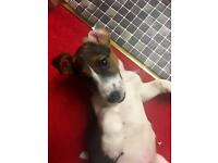Jack Russell 8months dog