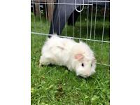 Male Guinea Pig - 9 months old