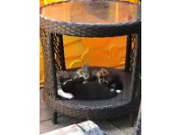 2 black and white kittens, both male. British short hair mother. Beautiful
