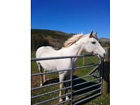 For sale conemarra mare
