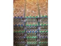 Blackneck Pheasant Eggs & Chicks For Sale