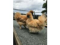 Pair miniature Buff silkies 2018 hatch