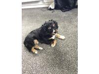 Tri Colour Male Cavachon Puppy