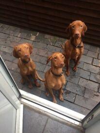 Beautiful Hungarian vizsla puppies