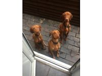 Beautiful Hungarian vizsla puppies
