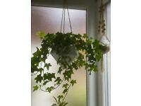 Ivey Hyderabad indoor plant with hanging basket