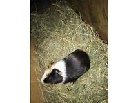Male guinea pig £10
