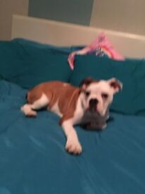 6 month old male bulldog.