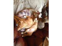 Chihuahua x husky pups free to the high Wycombe area