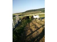 Two miniature Shetland ponies free